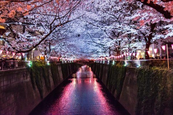 Fleurs de Cerisiers – Sakura